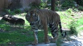 vadállat : tiger walking around and looking in the zoo