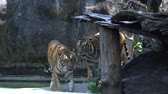 tehlikede : tiger walking and looking into camera in the zoo, 4k video footage