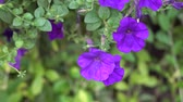 Beautiful purple flowers blooming in the green Nature Background, close-up Video Stockvideo