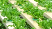 Lettuce growing in greenhouse Organic hydroponic vegetable farm (Wilted vegetable field)