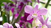 Close Up  beautiful purple orchid flower blooming in the garden, Nature Background 動画素材
