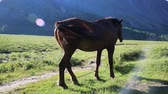 juba : A brown horse in the background of mountains. The horse grazes and eats grass on the field. Stock Footage