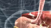 ileum : The Digestive System Esophagus, Stomach, Small Intestines,