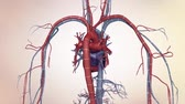 atrium : The human vascular system. Heart and vascular pathways Stock Footage