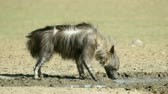 hyaena : A brown hyena (Hyaena brunnea) drinking water at a waterhole, Kalahari desert, South Africa