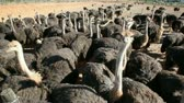 struś : Large group of ostriches (Struthio camelus) on an ostrich farm, Karoo region, Western Cape, South Africa
