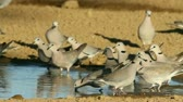 turtledove : Cape turtle doves (Streptopelia capicola) drinking water, Kalahari, South Africa