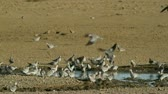 turtledove : Cape turtle doves (Streptopelia capicola) at the waterhole, Kalahari, South Africa