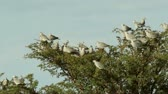 turtledove : Cape turtle doves (Streptopelia capicola) sitting in a swaying tree, Kalahari, South Africa