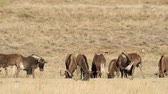 gnou : Herd of black wildebeest (Connochaetes gnou) grazing on open grassland, South Africa