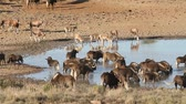 gnou : Black wildebeest and blesbok antelopes gathering at a waterhole, South Africa