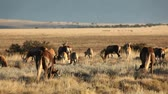 gnou : Herd of blesbok antelopes and black wildebeest grazing in open grassland, South Africa