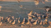 turtledove : Cape turtle doves (Streptopelia capicola) gathering at a waterhole, Kalahari, South Africa Stock Footage