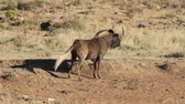 gnou : Dominant black wildebeest (Connochaetes gnou) with territorial display, South Africa