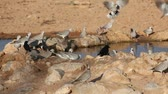 turtledove : Cape turtle doves (Streptopelia capicola) drinking water, Kalahari desert, South Africa