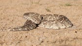 defensiva : Puff adder (Bitis arietans) in defensive position with flicking tongue, southern Africa