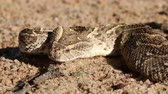 defensiva : Portrait of defensive puff adder (Bitis arietans) with flicking tongue, southern Africa Stock Footage