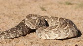 adder : Puff adder (Bitis arietans) in defensive position with flicking tongue, southern Africa