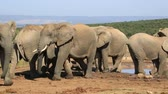 addo : African elephants (Loxodonta africana) interacting at a waterhole, Addo Elephant National Park, South Africa