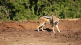addo : A wary black-backed jackal (Canis mesomelas), Addo Elephant National Park, South Africa Stock Footage