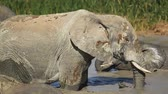 addo : Mud covered African elephant (Loxodonta africana) in a waterhole, Addo Elephant National Park, South Africa Stock Footage