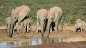 addo : Family group of African elephants (Loxodonta africana) drinking water, Addo Elephant National Park, South Africa