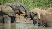 addo : Two African elephants (Loxodonta africana) playing in a waterhole, Addo Elephant National Park, South Africa Stock Footage
