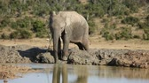 addo : An African elephant (Loxodonta africana) drinking water at a waterhole, Addo Elephant National Park, South Africa Stock Footage