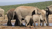 addo : African elephants (Loxodonta africana) drinking water at a waterhole, Addo Elephant National Park, South Africa