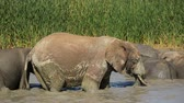 addo : An African elephant bull (Loxodonta africana) standing in a waterhole, Addo Elephant National Park, South Africa Stock Footage