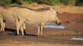 addo : Two warthogs (Phacochoerus africanus) at a waterhole, Addo Elephant National Park, South Africa