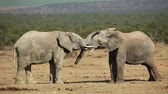 addo : African elephant (Loxodonta africana) bulls fighting, Addo Elephant National Park, South Africa Stock Footage