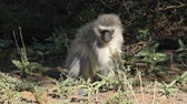 vervet monkey : Vervet monkey (Cercopithecus aethiops) feeding on plants, South Africa