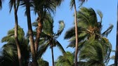 outside : Palm trees blowing in the wind against a clear blue sky on a tropical island Stock Footage