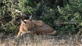 addo : A caracal (Felis caracal) resting in natural habitat, Addo Elephant National Park, South Africa
