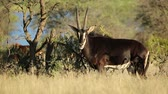 male animal : Male sable antelope (Hippotragus niger) in natural habitat, South Africa Stock Footage