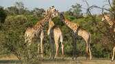 żyrafa : A group of giraffes (Giraffa camelopardalis) in natural habitat, South Africa