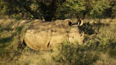 white lipped : A white (square-lipped) rhinoceros (Ceratotherium simum) in natural habitat, South Africa Stock Footage