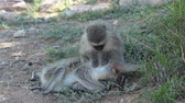 vervet monkey : Vervet monkey  Cercopithecus aethiops  grooming another South Africa
