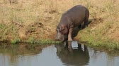 amphibious : A hippo Hippopotamus amphibius entering the water,  South Africa Stock Footage