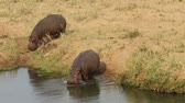 amphibious : Two hippos Hippopotamus amphibius entering the water, South Africa Stock Footage