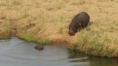 amphibious : A hippo Hippopotamus amphibius with her small baby, South Africa