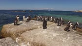african penguin : Group of African penguins Spheniscus demersus sitting on coastal rocks, Western Cape, South Africa