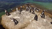 black footed : Group of African penguins Spheniscus demersus sitting on coastal rocks, Western Cape, South Africa