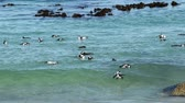 black footed : African penguins Spheniscus demersus swimming in shallow coastal water, Western Cape, South Africa
