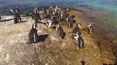black footed : African penguins Spheniscus demersus sitting on coastal rocks, Western Cape, South Africa