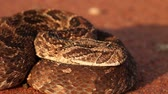 defensiva : Close-up of a puff adder (Bitis arietans) in defensive position, southern Africa