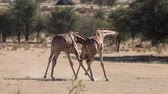 żyrafa : Two giraffe bulls (Giraffa camelopardalis) fighting, Kalahari desert, South Africa Wideo