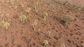 aloes : Low flying aerial view of rare quiver trees (Aloe dichotoma), Northern Cape, South Africa Wideo