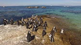 african penguin : Group of African penguins (Spheniscus demersus) sitting on coastal rocks, Western Cape, South Africa